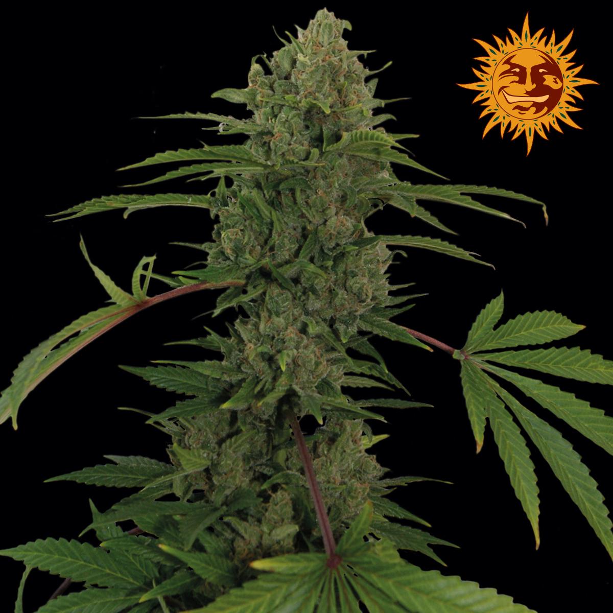 weed seed shop code promo 2016
