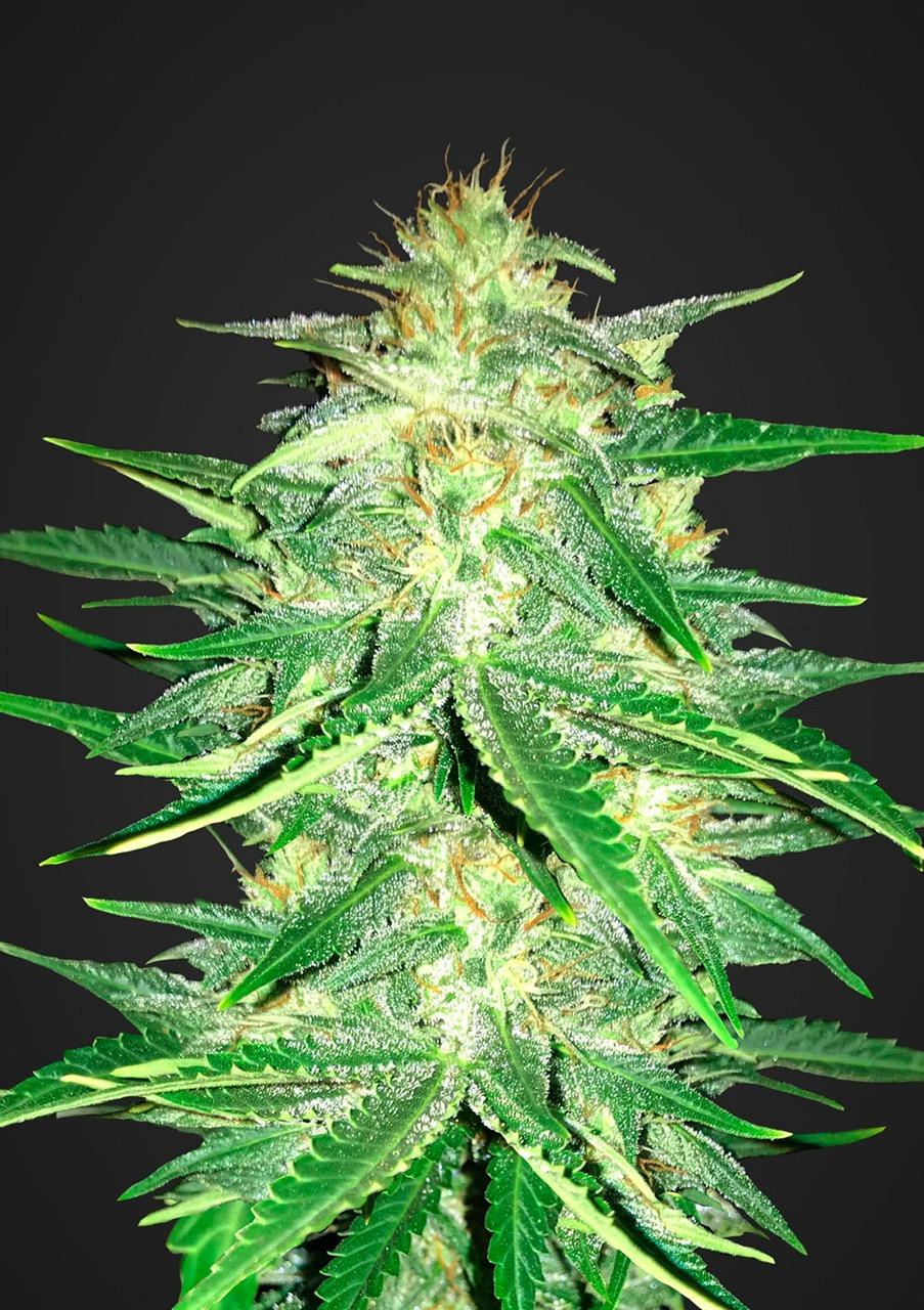 Ак 47 семена канабиса марихуана вывести из мочи быстро